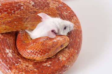 Corn Snake (Elaphe guttata) trapping a white mouse