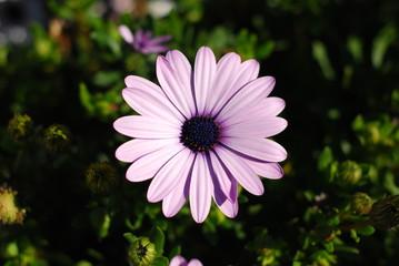 margherite - fiori