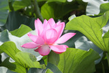 A single pink lotus (Nelumbo nucifera)
