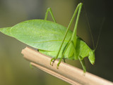 green katydid grasshopper , pico bonito, honduras poster