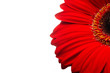 Beautiful red gerber flower part macro studio shot. isolated on