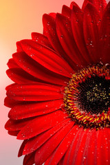 Beautiful red gerber flower part macro studio shot.