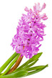 flower hyacinth isolated over white
