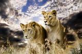 Fototapete Löwen - Raubkatzen - Säugetiere