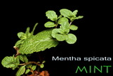Mint with Copy Space - Lamiaceae