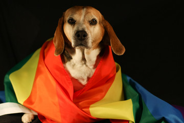 Beagle dog with pride colors