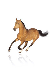 buckskin stallion isolated