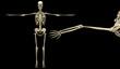 3D human skeleton medical detail illustration