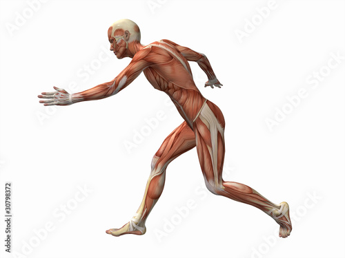 muscle man , male Body Anatomy