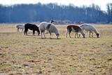 Alpaca Grazing in a Field