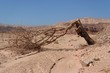 Broken acacia tree over the dry creek  in the desert