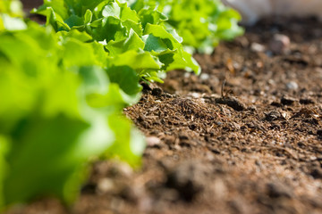 Growing own salad in the garden