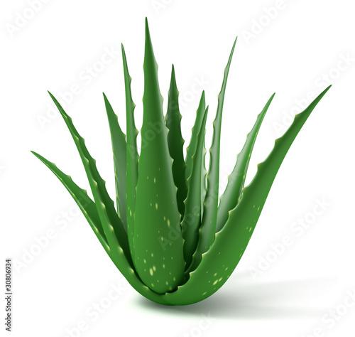 Plant d'Aloe Vera sur fond blanc 2