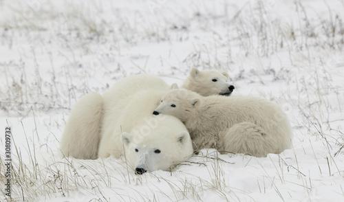 Polar niedźwiedzica z młodymi.