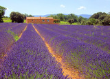 Fototapety Lavendel - lavender 35