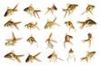 Schleierschwanz gelb Sammlung