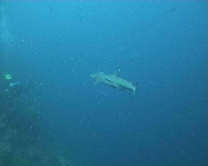 shark diving underwater video