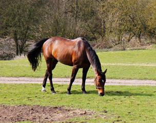 Grazing Bay Horse