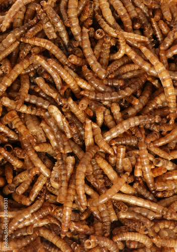 dried mealworms wild bird food background