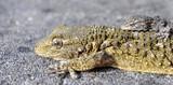 gécko gekko lézards reptiles poster