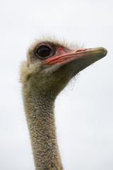 Struthio camelus