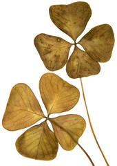 feuilles séches du trèfle porte-bonheur