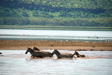 zebra crossing lake Nakuru
