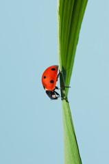 Coccinella rossa nel mezzo del filo d'erba