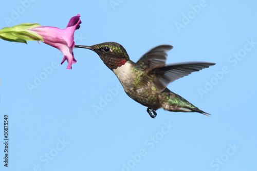 mezczyzna-hummingbird-ruby-throated-archilochus-colubris