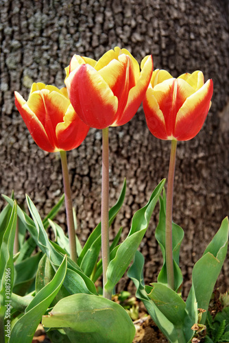 Spring tulips in yellow and red colors
