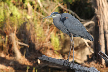 Great Blue Heron (Ardea herodias) - Okefenokee Swamp, Georgia
