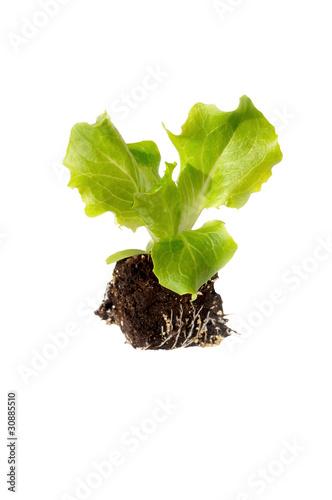 jeune plant de salade de coco photo libre de droits 30885510 sur. Black Bedroom Furniture Sets. Home Design Ideas