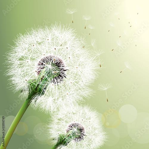 Fototapety, obrazy : Vector Dandelion