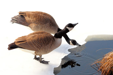 Two Canada Geese drinking from snow covered pond
