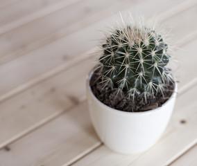 cactus sur fond de sapin