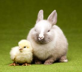 Little chick on rabbit on green