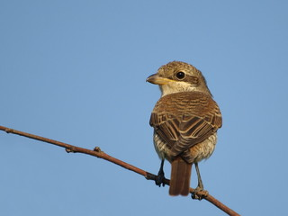 Red backed Shrike, lanius colluri