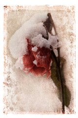 Snow Covered Rose