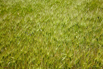 Goat grass in the steppe