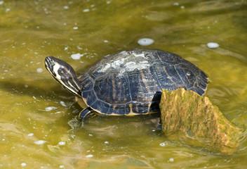 Red necked slider turtle