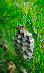 wasp protects its nest