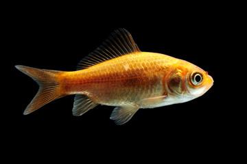 Goldfisch rotorange schwarz2