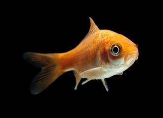 Goldfisch rotorange schwarz6