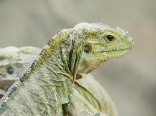 A portrait of an iguana in Vienna Zoo