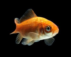 Goldfisch rotorange schwarz7