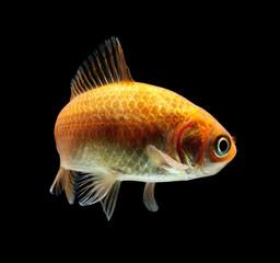 Goldfisch rotorange schwarz8