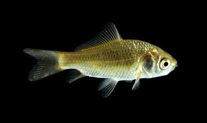 Goldfisch gelb schwarz1