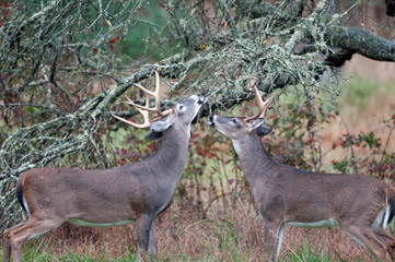 Two whitetailed deer bucks chewing on branches