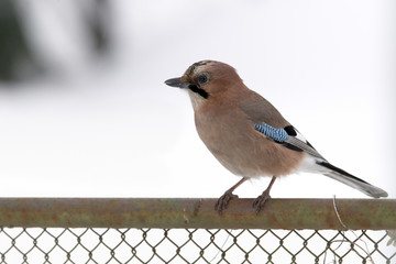 Jay on garden fence