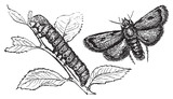 Turnip moth or agrotis segetum. Agrotide affectation. poster